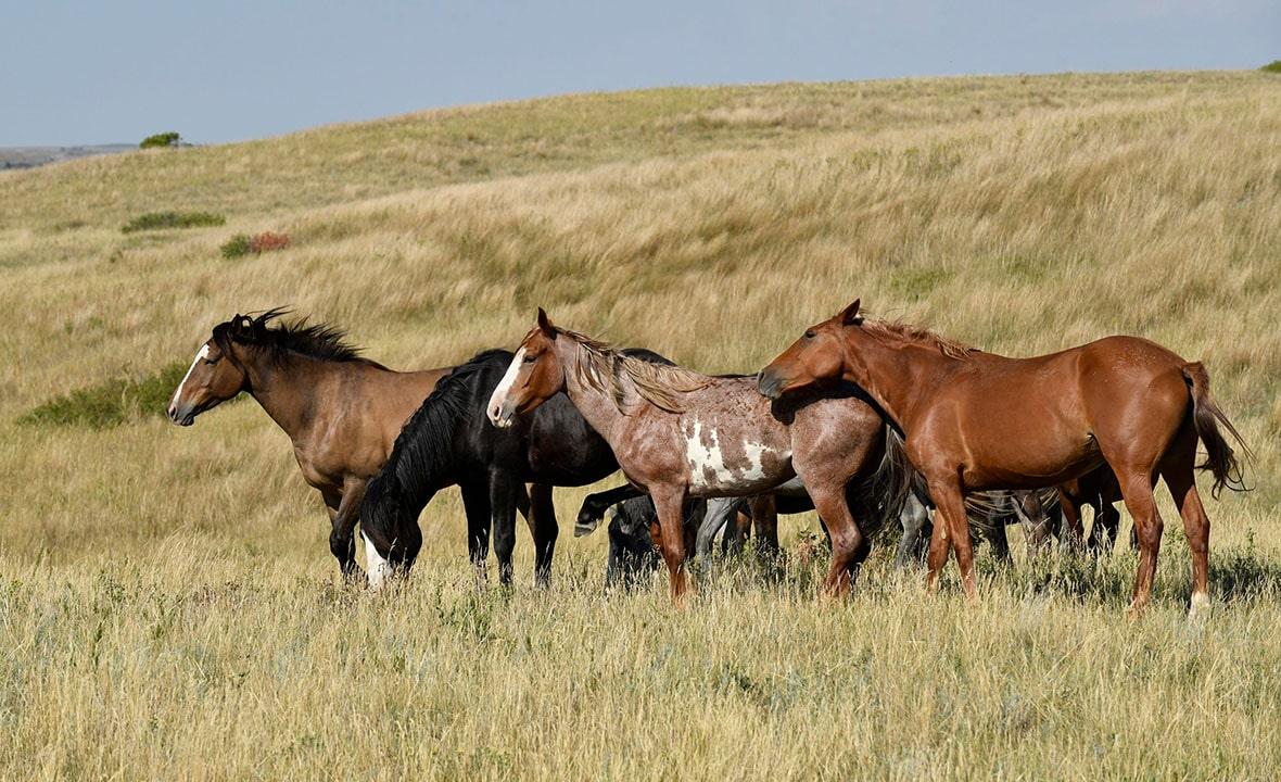 North Dakota Wild Horses